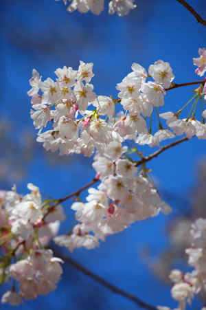 20110328_7202_WEB.FINAL.cherry-blossoms